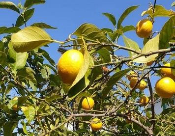 Formation Gestion des agrumes - Citron