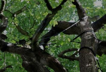 Consolidation des arbres par le haubanage