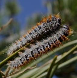 Focus sur la chenille processionnaire du pin